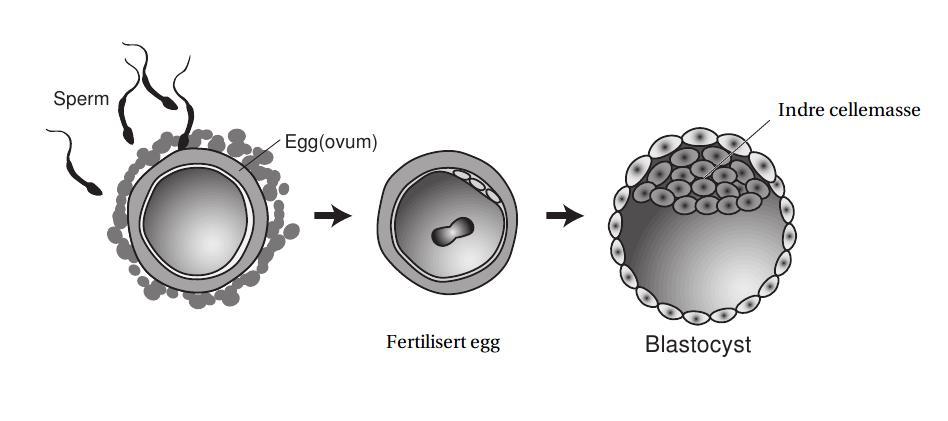 befruktede egg kastes
