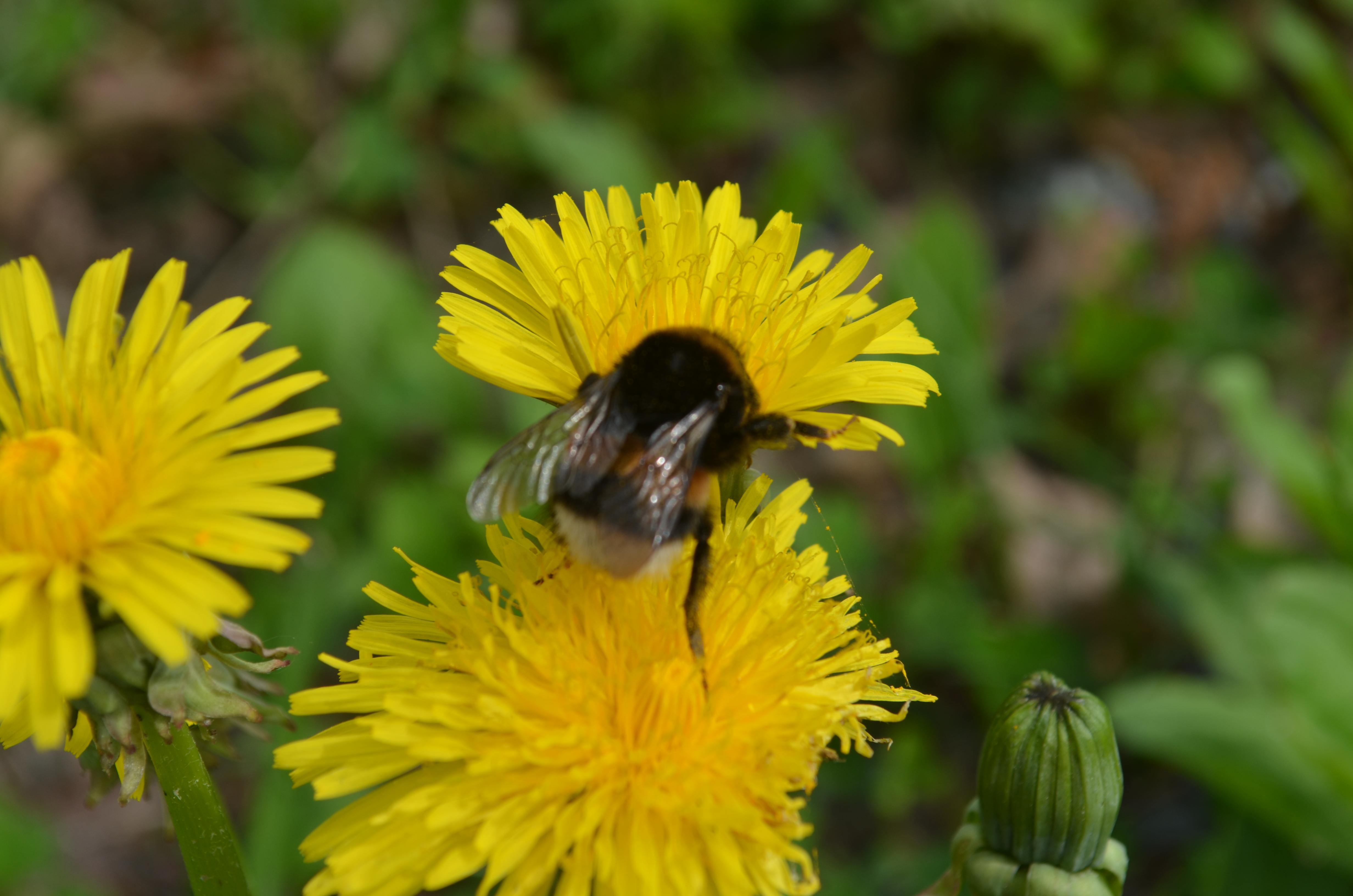 Humledronning (Bombus terrestris)i full gang med å samle nektar og pollen til sine små. Samtidig pollinerer hun løvetannen.