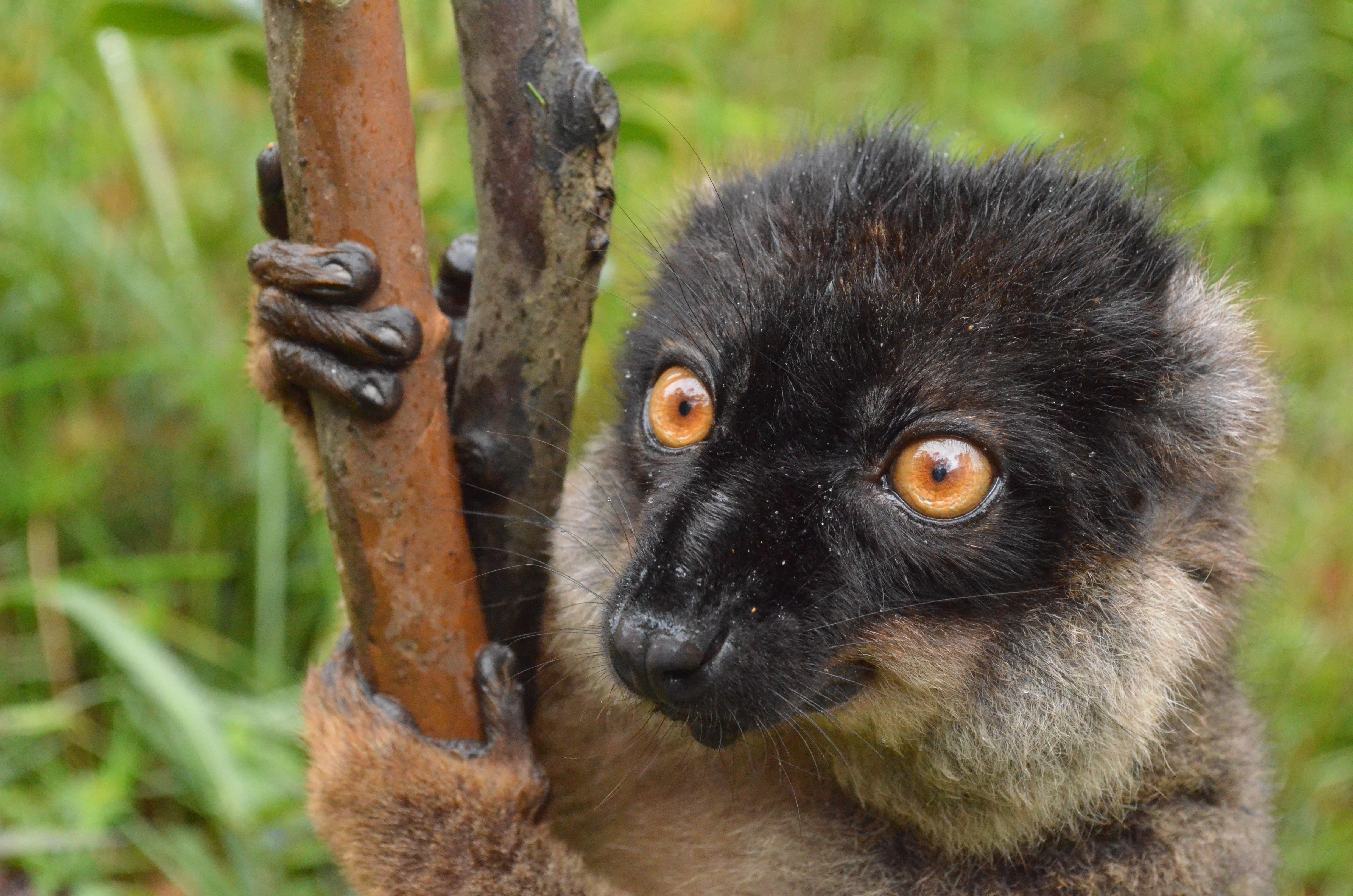 Å reise til Madagaskar uten å hilse på lemurer er bare ikke et alternativ