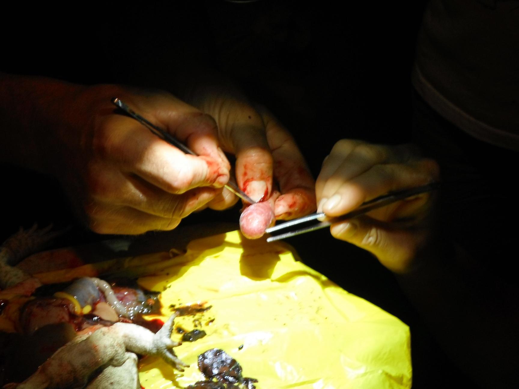 Frivillige dissekerer padder for å undersøker forekomst av parasitter