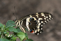 Denne vanlige sommerfuglen finnes også på Mauritius. Hentet fra wikimedia commons