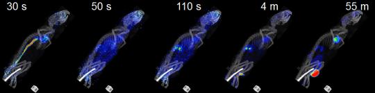PET/CT-bilde av en mus. Man ser hvordan sporstoffet reiser rundt i kroppen, før det finner fram til områder med høy metabolisk aktivitet.