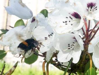 Humle og rhododendron