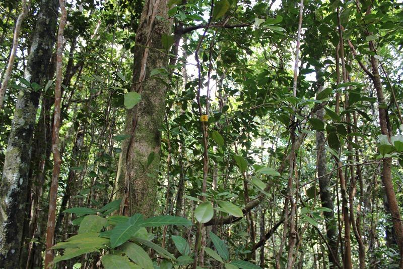Forvokst og tett skog Guava planten på Mauritius