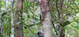 Fuglen Mascarene Paradise Flycatcher på Mauritius i restaurert skog