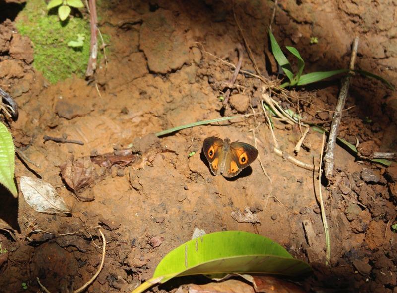 Sommerfugl henotesia narcissius på Mauritius
