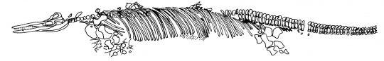 Det fragmenterte skjelettet til en stor, ålelignende fiskeøgle kalt Cymbospondylus.
