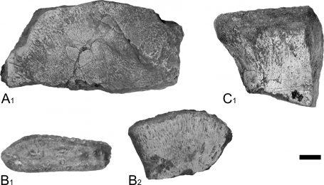 Et eksempelbilde av hvordan knokler presenteres i vitenskapelige artikler; i svart-hvitt og med klare kontraster.